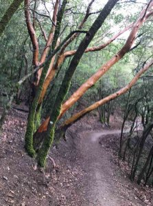 Smooth tree trunks on the Mt Umunhum Trail
