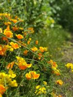 California poppies on the trail