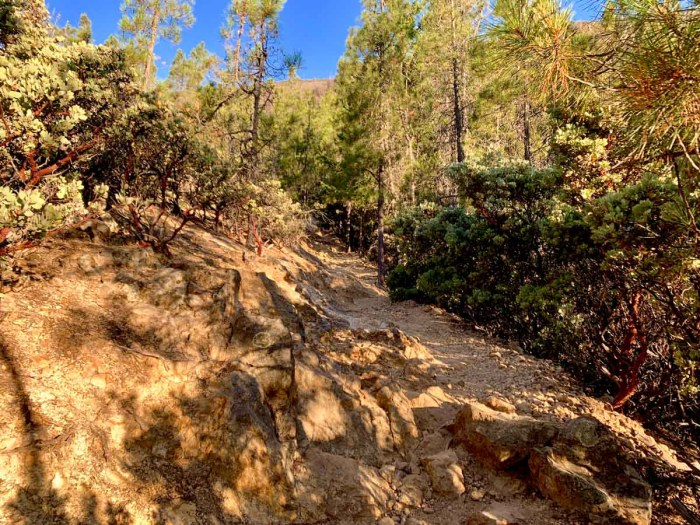 Manzanita and pines on Mt Saint Helena