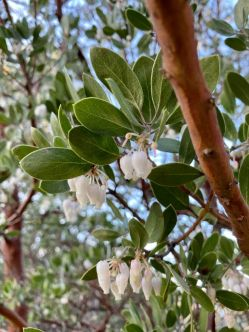 Manzanita blossoms on Volcan Mountain