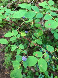 Wild blueberries on the Wonderland Trail