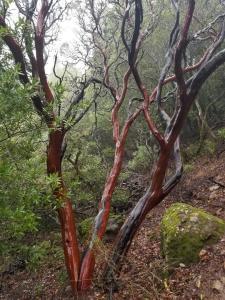 Tree on Mt. Um trail. Jan. 9, 2019 mt-um-tree