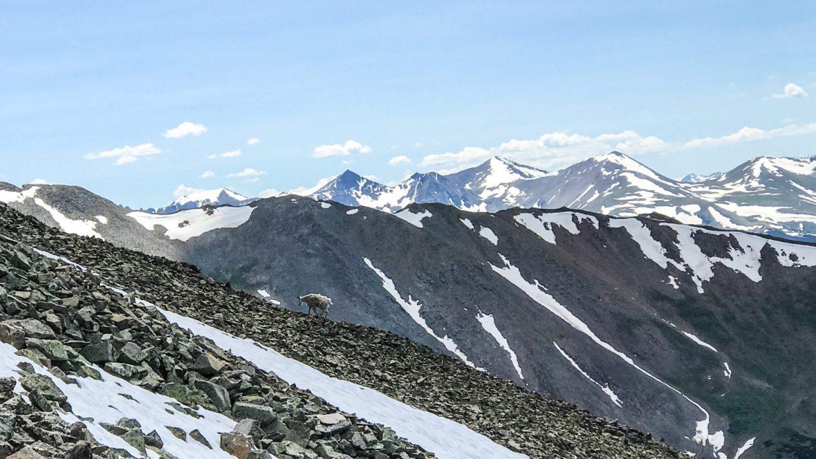 Mountain Goat on Mount Guyot