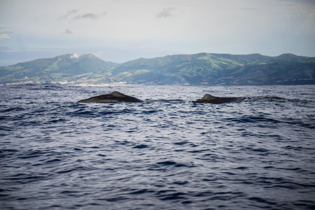 walvissen spotten azoren