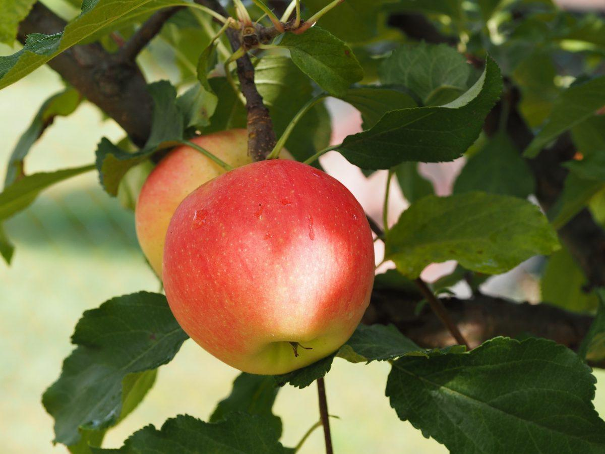 Apples The Nutrition Source Harvard T H Chan School