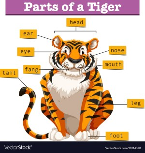 Diagram showing parts of tiger Royalty Free Vector Image