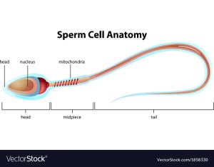 Sperm cell structure Royalty Free Vector Image