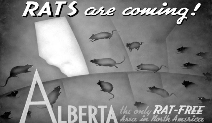 Rat Poster resized