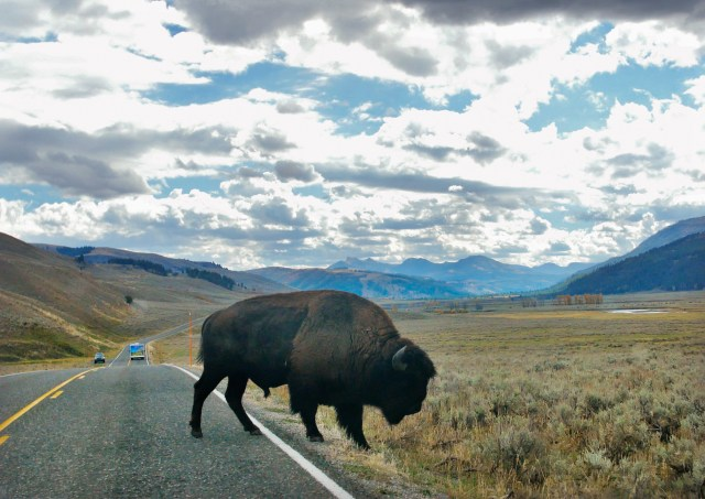 Close-up photograph of a bison crossing the road, with mountains in the background. Also includes an illustrated map highlighting the route that Zachary and Estelle engage while exploring the Lamar Valley theory.
