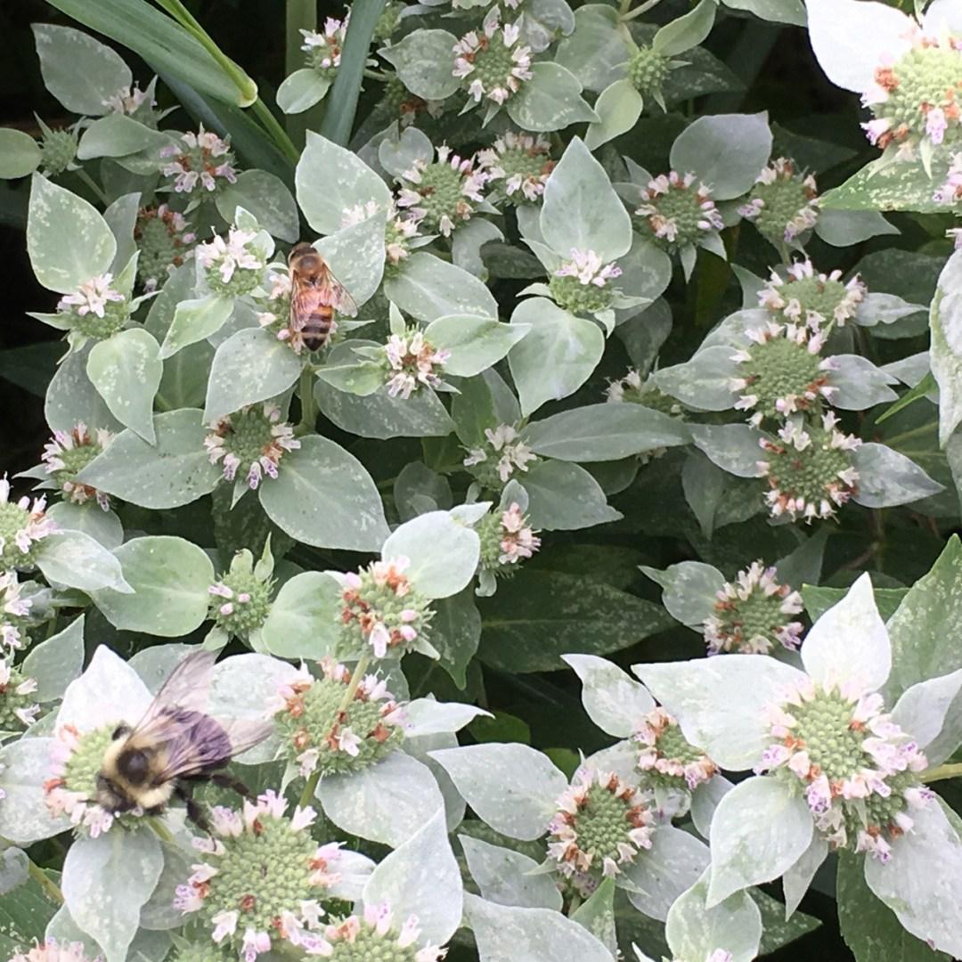 Pycnanthemum muticum/Short-toothed Mountain Mint/ThePollenNation