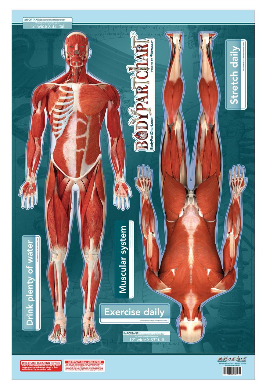 muscular system sticky poster anterior and posterior views