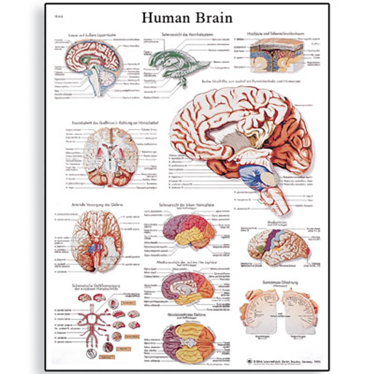 brain anatomy poster 1