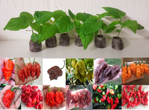12 Pack of Hybrid - Rare Chilli Seedling Plants x  1
