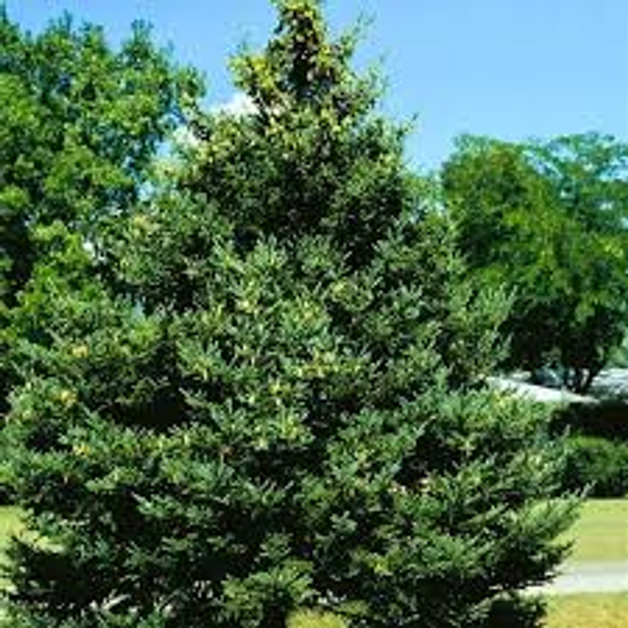 Buy Picea Glauca White Spruce Seeds Online In Usa Picea Glauca White Spruce Seeds Price Treehelp Com