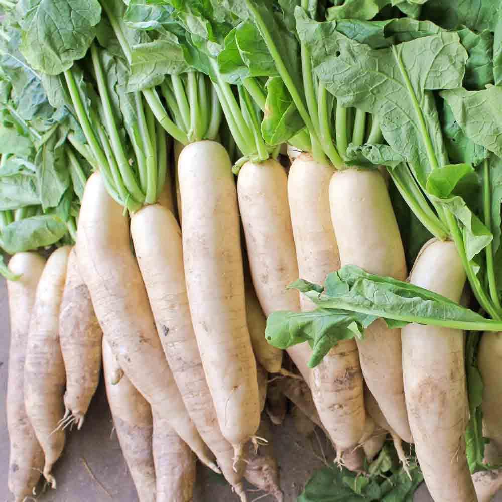 Japanese Minowase Daikon Heirloom Radish Seeds Terroir