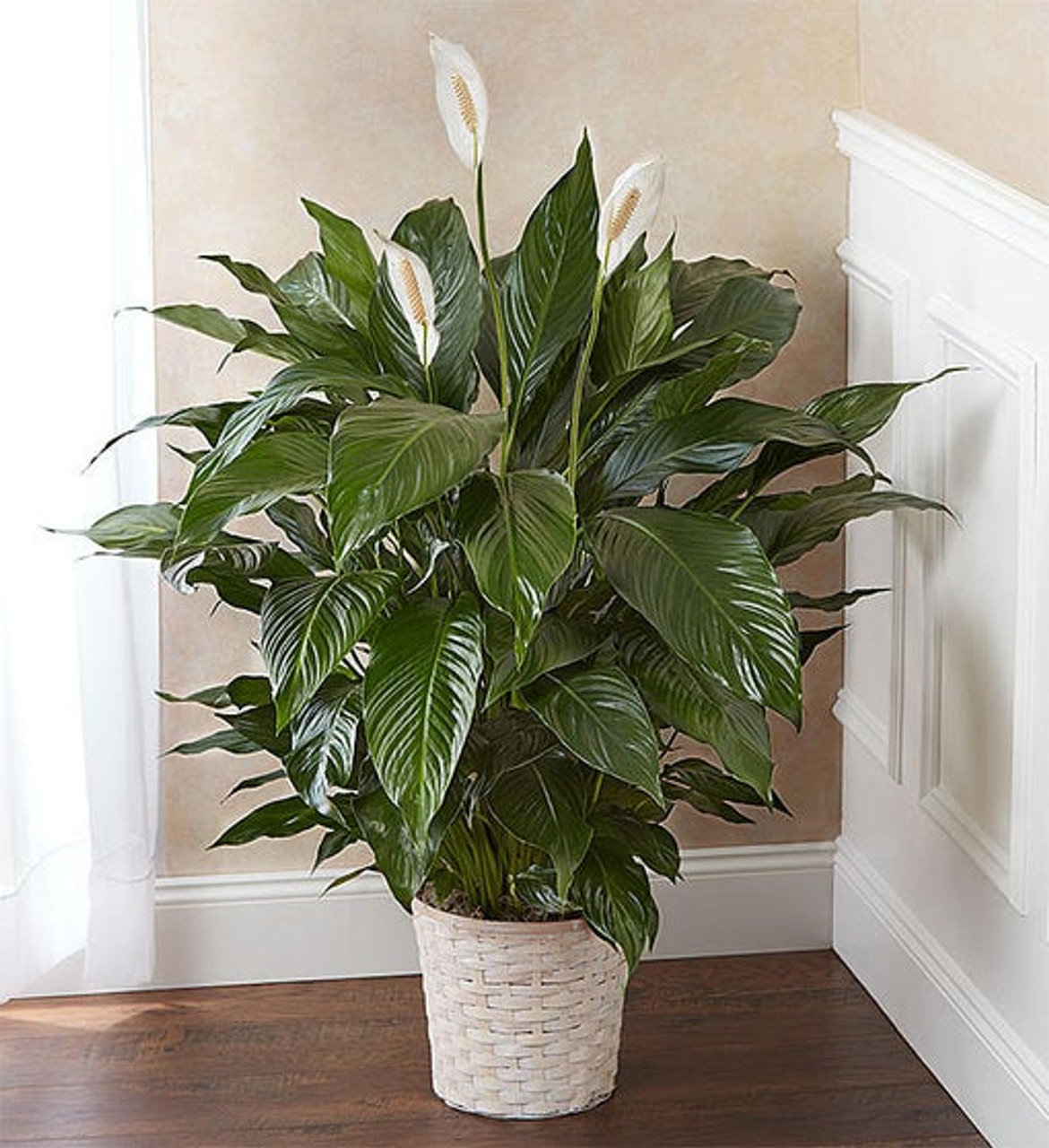 Peace Lily Plant For Sympathy Large