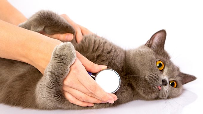 cat with vets stethoscope