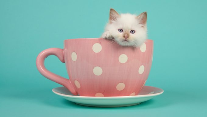 cat in a tea cup