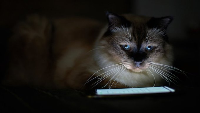 Cat watching a cell phone
