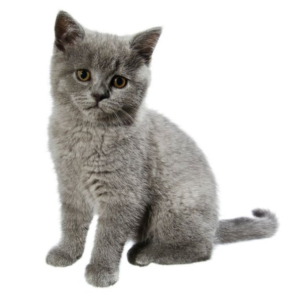 British Shorthair Cat Breed Information, Pictures ...