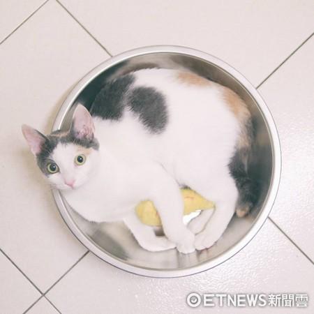 貓把鍋子當家!主人甩動「咕溜咕溜」噴笑:不沾鍋測試!(圖/小隻的咖啡泡芙提供)