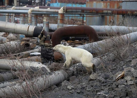 Oso polar demacrado vaga por ciudad industrial en busca de comida