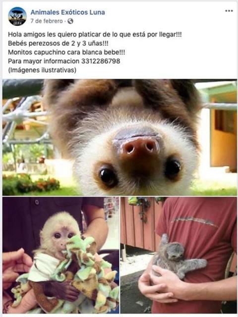 muestran a osos bebés