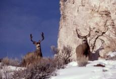 mule_deer_bucks