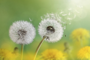 dandelion-winds-of-change