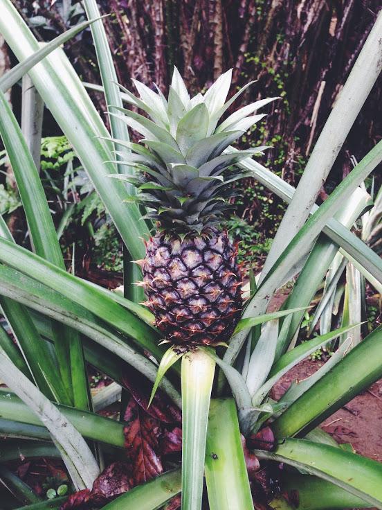 pineapple-thailand