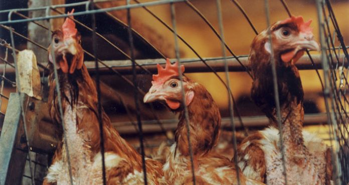 Some 140,000 Chickens to Be Culled in Japan's Toyama Prefecture Over Bird Flu – Reports