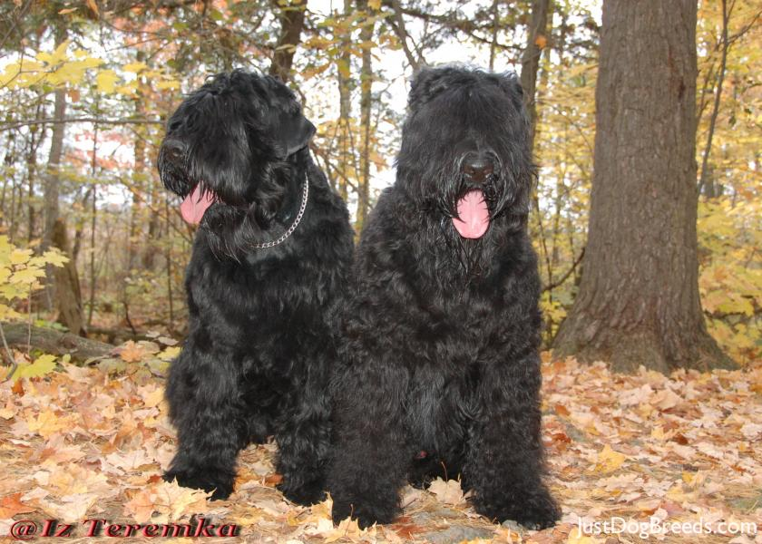 Image Result For Black Russian Terrier Hypoallergenic