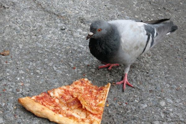 Image result for pigeons nyc
