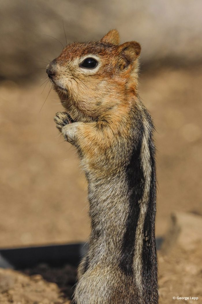 Golden-mantled ground squirrel photographed with the Canon EOS R.