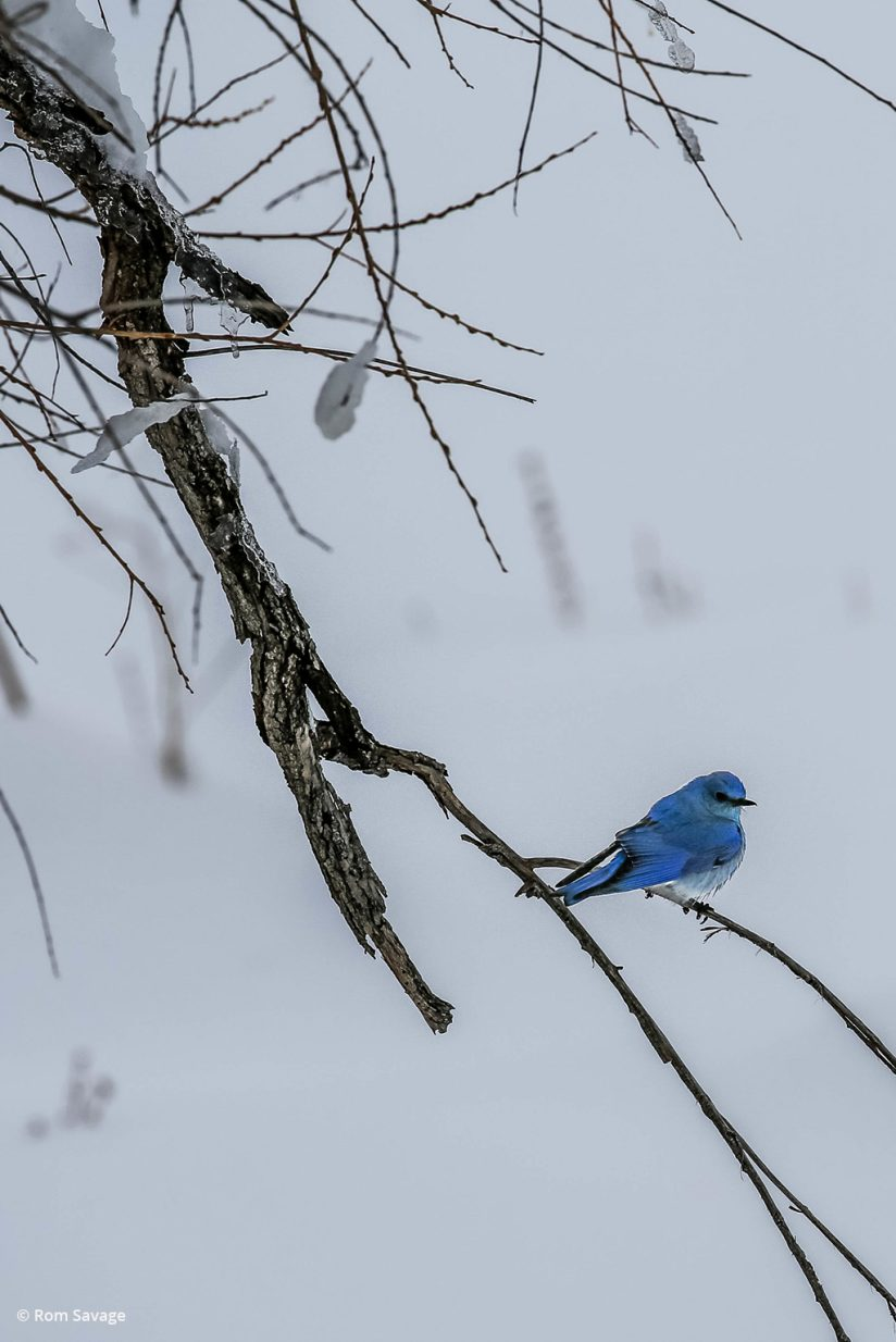"""Today's Photo Of The Day is """"Blue Bird"""" by Rom Savage. Location: Colorado."""