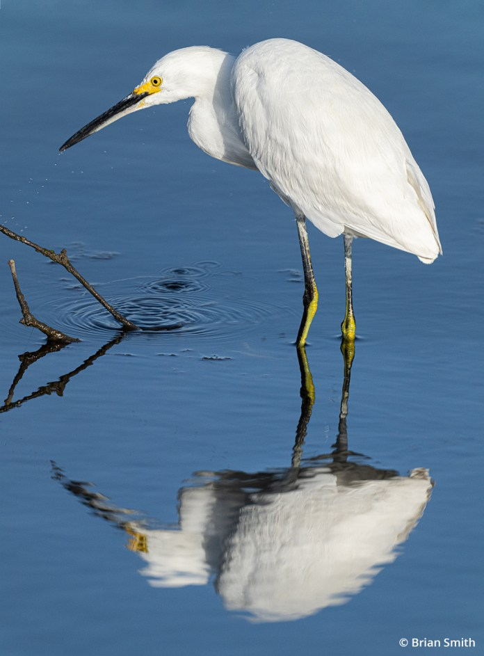 Image of a snowy egret at Malibu Lagoon State Park.