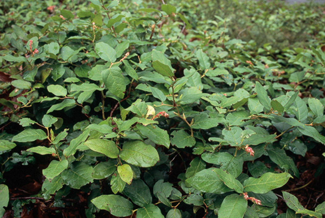 Image result for gaultheria shallon