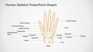 Human Skeleton Presentation Template (Hand)  SlideModel