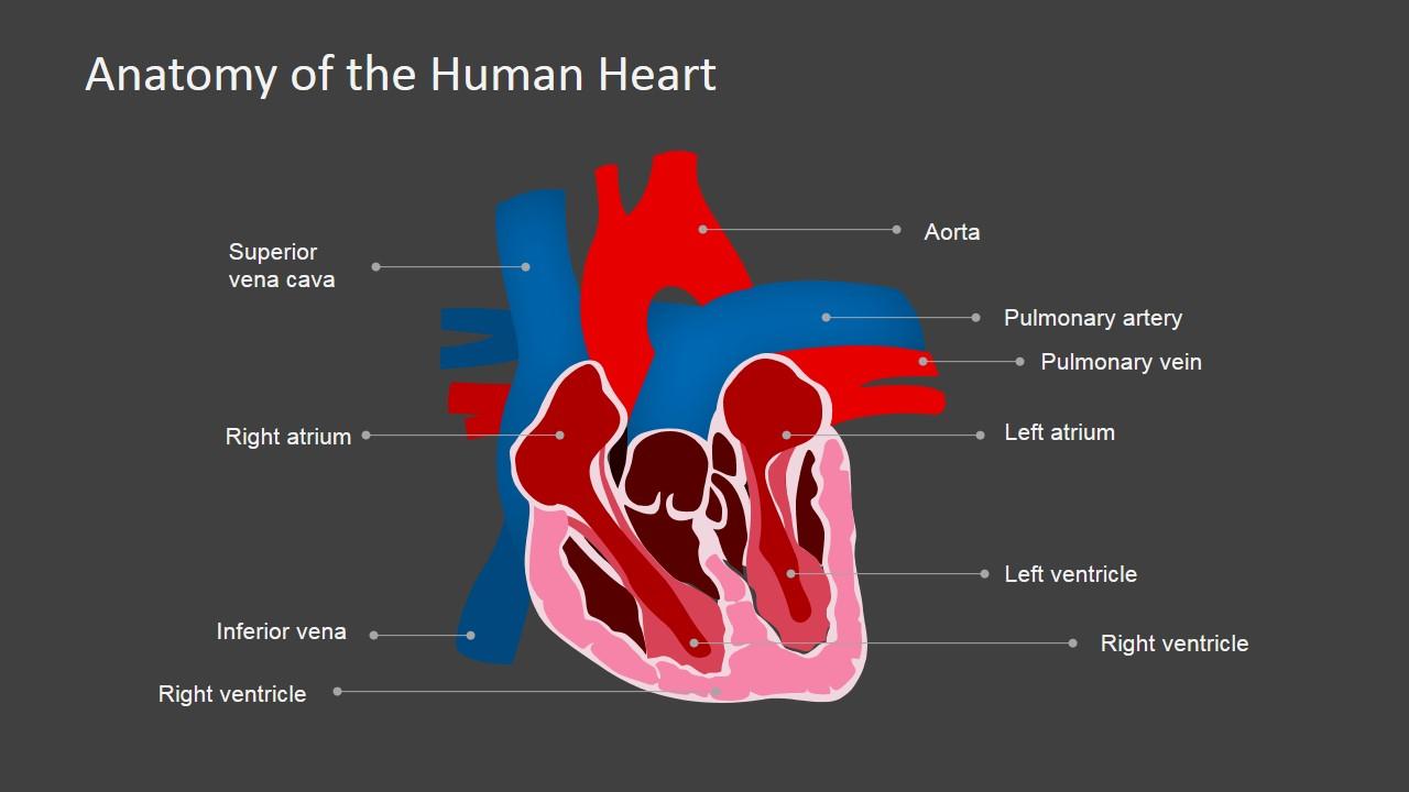 Anatomy Ppt Human Presentations