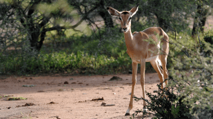 A young impala scrutinized the visitors.