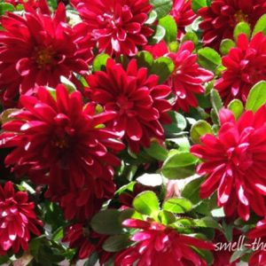 50 Most Beautiful Flowers In The World Besides being beautiful  Asters have a very special flower meaning  They  are fondly known as the symbol of patience and talisman of love