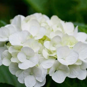 Top 25 Most Beautiful White Flowers White Hydrangea