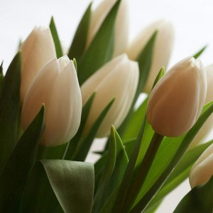 Top 25 Most Beautiful White Flowers White Tulips