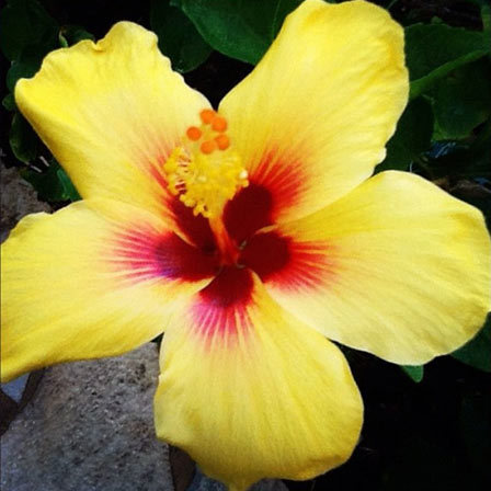 Top 25 Most Beautiful Hibiscus Flowers Beach beauty is a large 8 inches flower in rings of golden yellow  white  and candy pink  The flower has a bright red eye with tints of orange around  the
