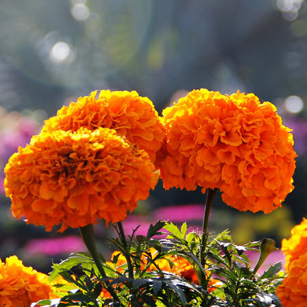 Top 25 Most Beautiful Marigold Flowers tagetes erect discovery orange Pinit