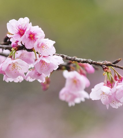 images for flowers cherry blossom