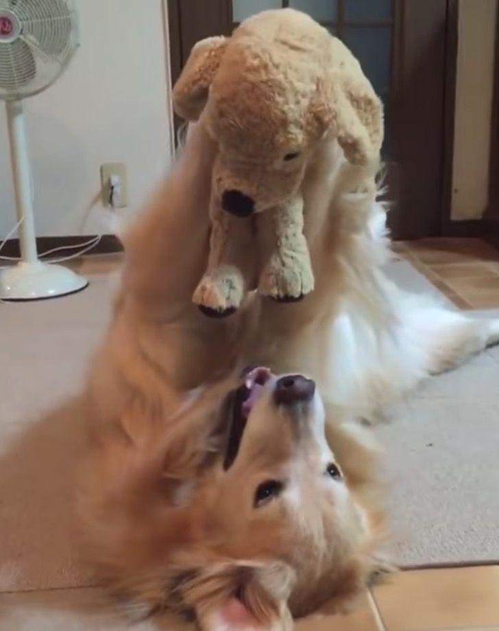 Captura de Pantalla 2021 04 01 a las 18.12.18 - Perrito ama jugar en el suelo con su peluche como si fuera un niño. Lo alza con sus patas al aire