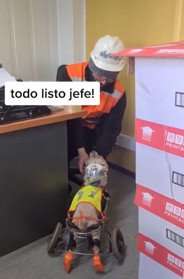 """Captura de Pantalla 2021 08 30 a las 17.28.28 - """"Llegó el jefe"""": Perrito en silla de ruedas es tratado como encargado de la bodega donde trabaja"""