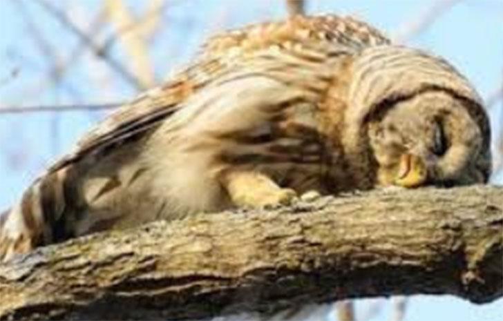 buhos bebes durmiendo018 1 - ¿Qué le pasó? 20 fotografías de búhos bebés durmiendo boca abajo. Como tú después de una fiesta