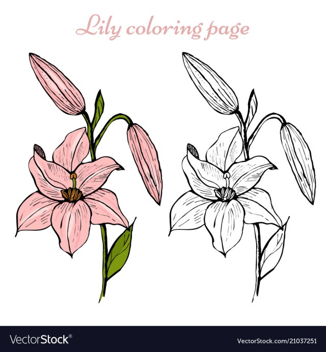 Lily flower coloring page Royalty Free Vector Image